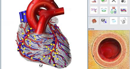 Système cardio vasculaire - coeur et artère - bioresonance France
